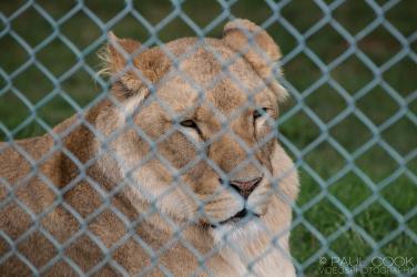 Lion @ Africa Alive, Suffolk