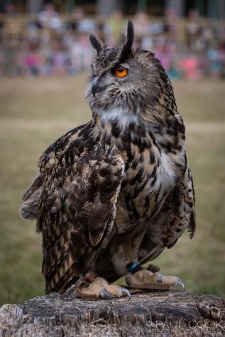 European Eagle Owl @ Africa Alive, Suffolk