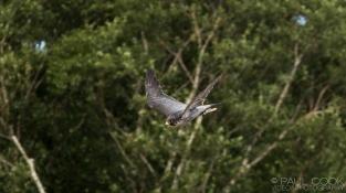 Perregrine Falcon @ Africa Alive, Suffolk