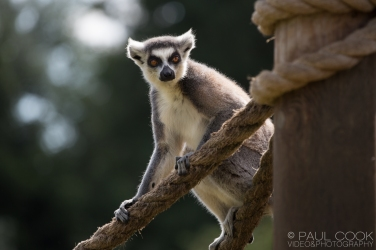 Ring - Tailed Lemur @ Africa Alive, Suffolk