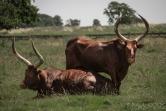 Ankole Cattle @ Africa Alive, Suffolk
