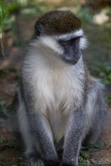 Capuchin Monkey @ Africa Alive, Suffolk