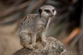 Meerkat @ Africa Alive, Suffolk