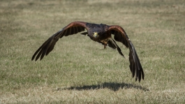 Harris Hawk @ Africa Alive, Suffolk