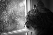 """Cat Portrait 4 """"Contemplative"""""""